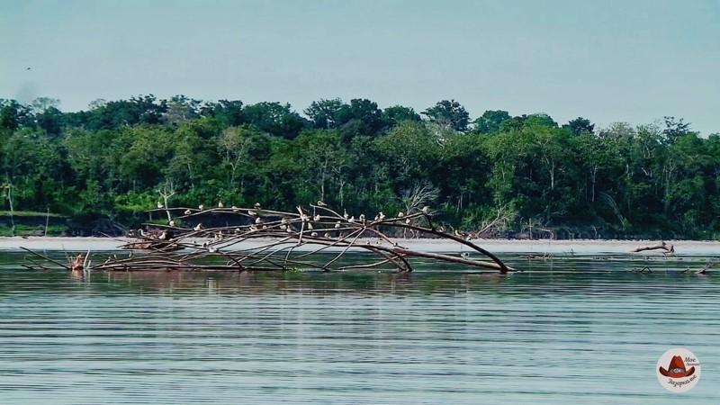 Плывущее дерево огромное посреди Амазонки.