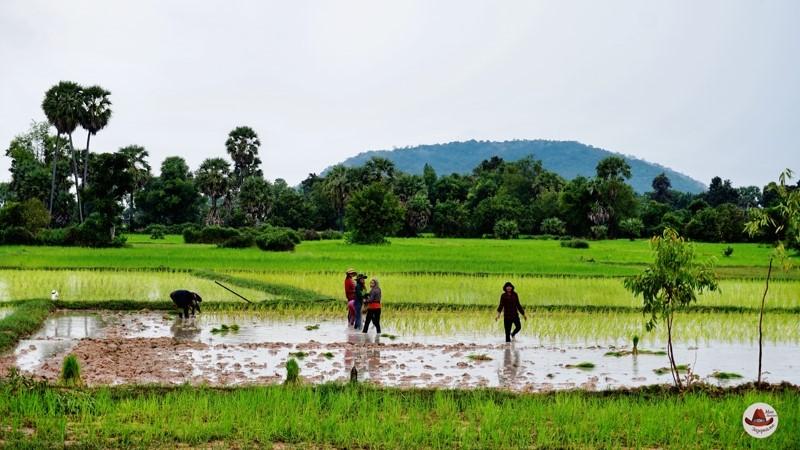 Так сажают рис в долине Пном Кулен